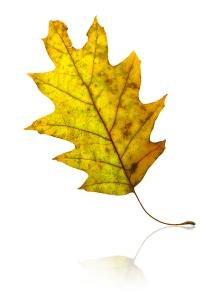57_1oak_leaf_scaler